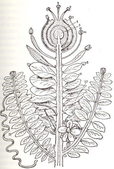 Goethes_Urpflanze