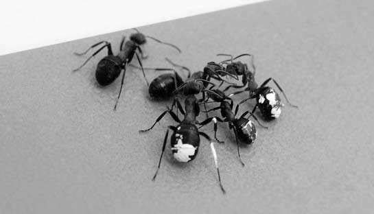 A scouting ant contacting members of its team. Photo by Nail Bikbaev.