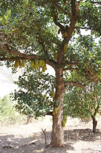 Jackfruit_tree_in_Gujarat